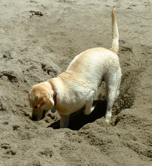 Dog digging a hold